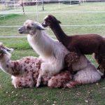 Lama und Alpaka, seid nett aufeinander!