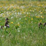 Graugänse in der Frühlingswiese