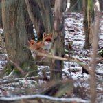 Ein Fuchspärchen im Paarungsrausch