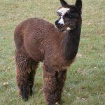 Alpakahengst Bonito, selbstbewusst, der Liebling aller Kinder