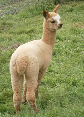 Baby-Alpaka